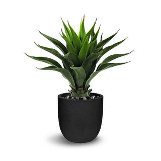 Plante Eulophia