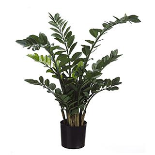 Plante décorative tropicale Zamioculcas