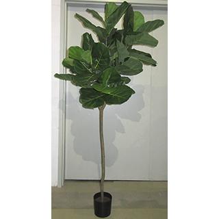 Ficus Lirata 7pi