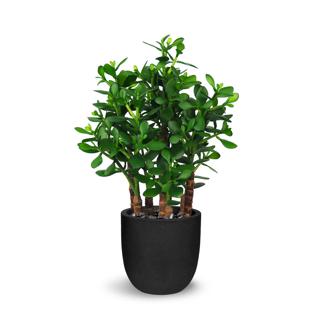 Plante crassula