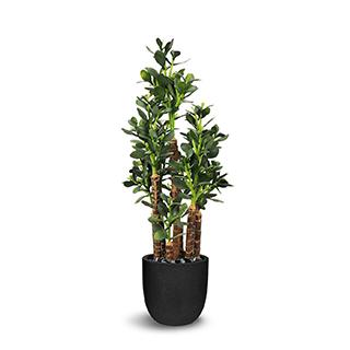 Plante gade 32 po