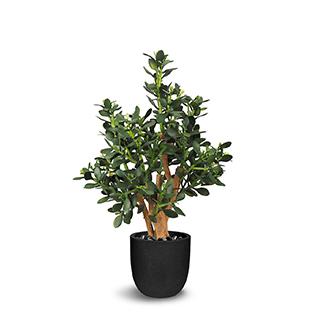Plante gade 30 po