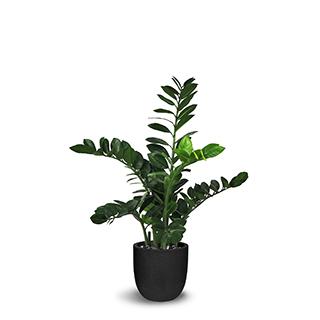 Plante zamioculcas 36 po