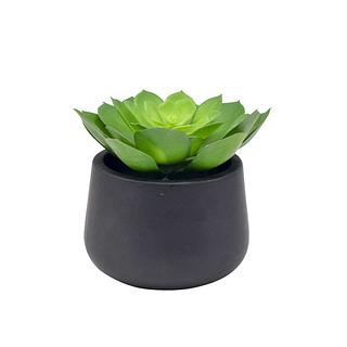 Plante Orostachys