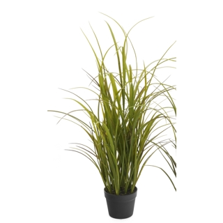 Plante Grass